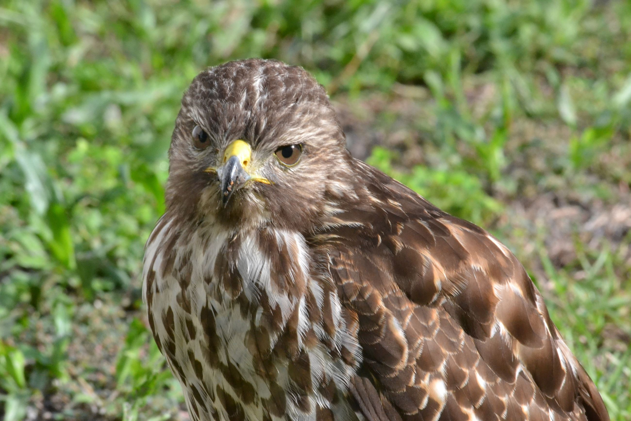 Evelyn Hill Hummer  Hawk 2016 2016-07-18 037
